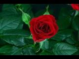 Распускающийся цветок