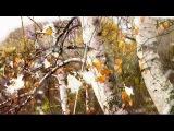 семен канада. желтые листья.